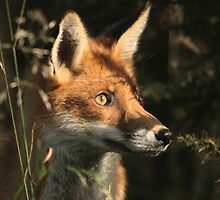 Fox cub in early morning light by ThatsAndy
