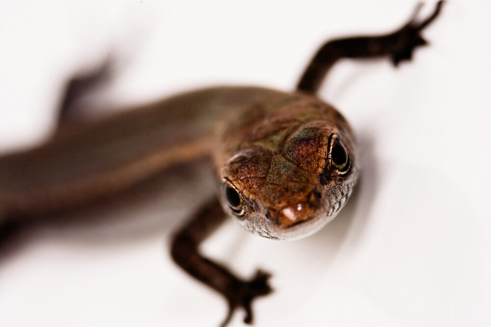 Tiny Skink at 2.5 magnification by Samuel Gundry