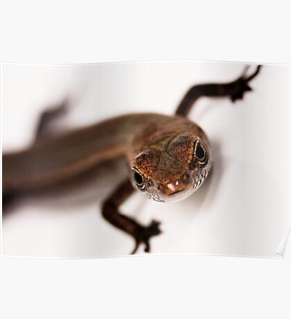 Tiny Skink at 2.5 magnification Poster