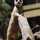 """I'm watching you - Meerkat Dubbo Zoo"" by Leonah"