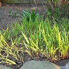 Grass in Sunlight  by porksofpig