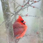 Shy cardinal by bettywiley