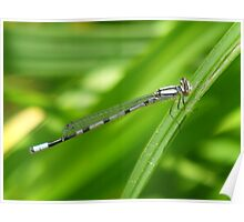 Damselfly  In The Wind Poster