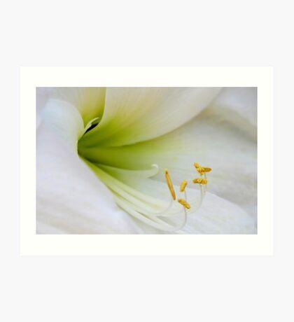 White Lilly Flower Art Print