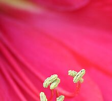 Pink Lily Flower by snehit