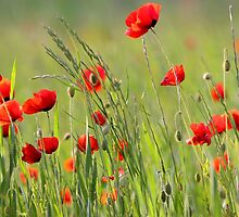 Poppy plantation by snehit