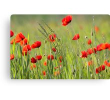 Poppy plantation Canvas Print