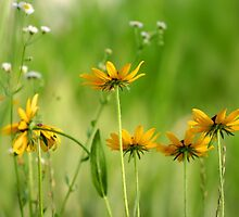 Black eyed Susans by snehit