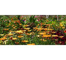 Daisy flowers Photographic Print