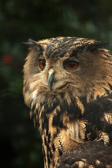 Portrait of an Eagle-owl  by steppeland