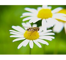 Bee on daisy Photographic Print