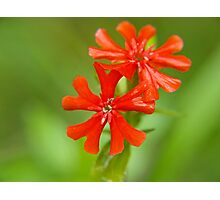 Small red flowers Photographic Print