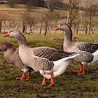 Free Range Geese by Kat Simmons