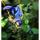 Blue by SirDidymus