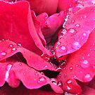 Rain drops on red rose by Maryanne Lawrence