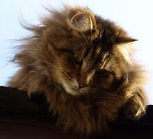 Maine Coon Tabby Cat by NaturePrints