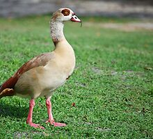 Egyptian Goose in Florida by Ralph Angelillo