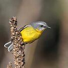 Eastern Yellow Robin by Kym Bradley
