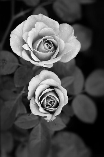 Miniature roses, mono by Agnes McGuinness