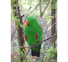 Eclectus Parrot Photographic Print