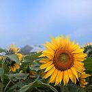 Sunflower and Love by ediaz