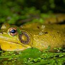Bullfrog  by Daniel  Parent