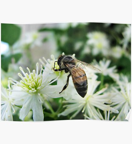 Dark Bee on White Flowers Poster