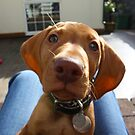 Semper the Vizsla by lhyland