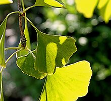 Green Ginkgo Leaves by AndreaFettweis