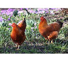 Happy Chickens Photographic Print
