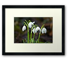 The Beauty of Snowdrops Framed Print