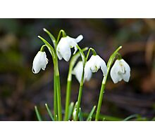 The Beauty of Snowdrops Photographic Print