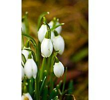 Snowdrops #1 Photographic Print