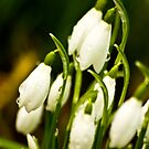 Snowdrops #2 by Trevor Kersley