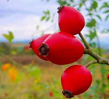 Wild Rosehips by Eugenio
