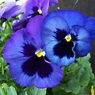 Purple pansies by debkd