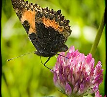 Small Tortoiseshell by kilmann
