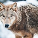 wolf (lat. Canis lupus) by peterwey