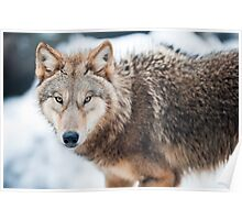 wolf (lat. Canis lupus) Poster