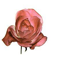 Una Rosa Con Acqua by ParkDG