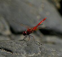 Scarlet Basking by David Cash