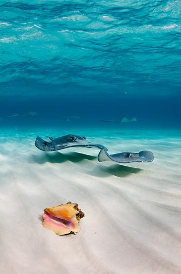 Two stingrays & a shell went into a sandbar... by muzy