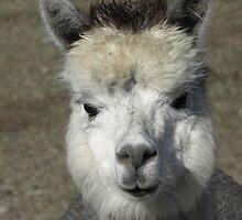 ALPACA by Joe Powell