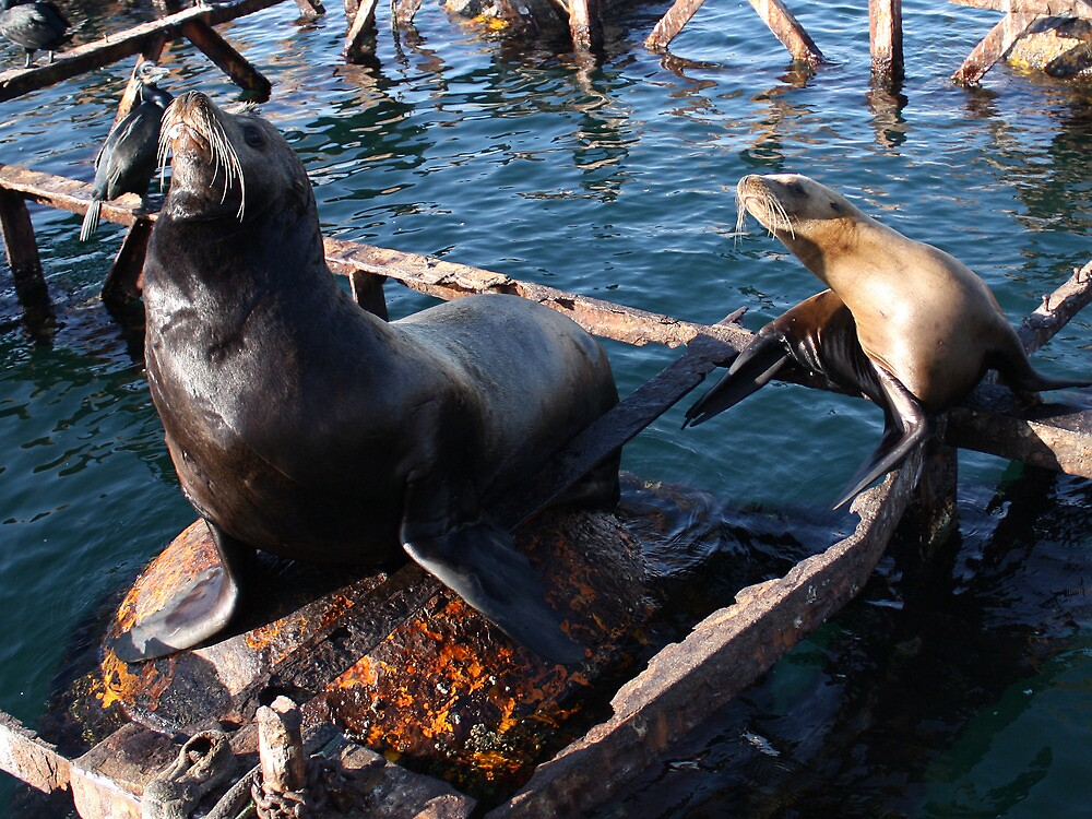 Sealions - Proud in the sun. by Mishcana