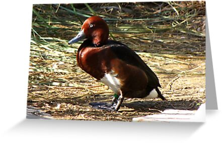 Ferruginous Pochard ~ Male by Kimberly Chadwick