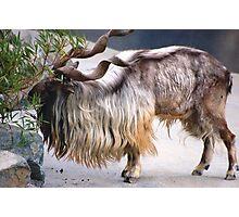 Markhor Goat  Photographic Print
