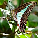Blue Triangle Butterfly - Graphium sarpedon   by Gabrielle  Lees