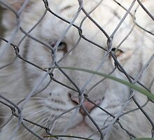 White Tiger In Jail by Bob Purdy