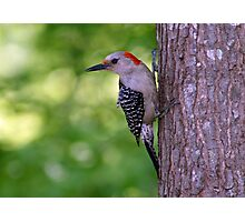 Female Red-bellied Woodpecker ~ Melanerpes carolinus  Photographic Print