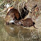 Muskrat Love?? No it's a Nutria Nuzzle by Bonnie Robert